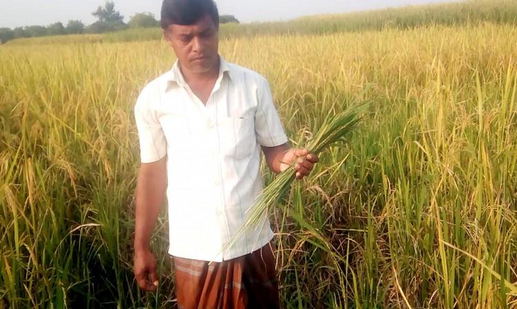 ইঁদুরের আক্রমণে দিশেহারা বরেন্দ্র অঞ্চলে কৃষকরা