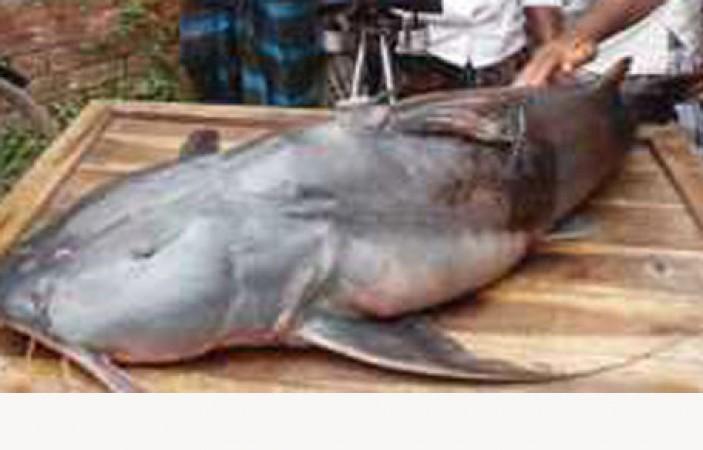 জেলের জালে ৫০ কেজি ওজনের বাঘাইড় মাছ