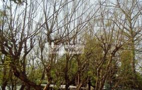 আদমদীঘির সজনে ডাটা যাচ্ছে উত্তরাঞ্চলসহ দেশের বিভিন্ন স্থানে