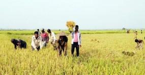 হবিগঞ্জে বোরো ধানের বাম্পার ফলন: শ্রমিক সঙ্কটে কৃষকেরা