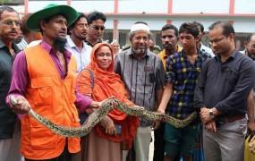 মোরেলগঞ্জে ক্ষুধার্থ অজগর আটক, সুন্দরবনে অবমুক্ত
