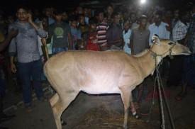 ঠাকুরগাঁওয়ে বিরল প্রজাতির নীলগাই উদ্ধার