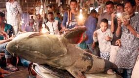 ১৪০ কেজি বাঘাইড় মাছ!