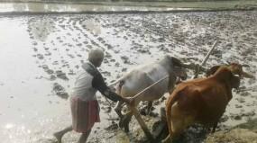 নবাবগঞ্জে বিলুপ্তির পথে গরুর হাল