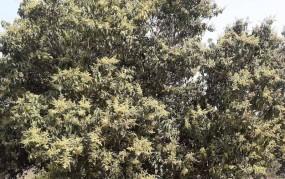 রাণীনগরে আমের মুকুলের মিষ্টি সুবাসে মৌ মৌ করছে চারপাশ