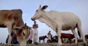 ভারতে আশ্রমে একাধিক গরুকে ধর্ষণ, যুবক গ্রেফতার