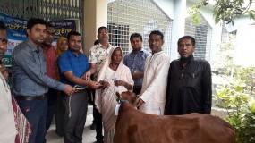 কাশিমপুর ইউনিয়নের ১০জন ভিক্ষুকের মাঝে গাভী বিতরণ