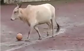ফুটবল খেলছে গরু! ভিডিও ভাইরাল