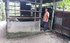 শ্রীপুরে তালা ভেঙ্গে কৃষকের ৩টি গরু চুরি