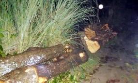 ঠাকুরগাঁওয়ে প্রধান শিক্ষকের বিরুদ্ধে রাস্তার গাছ কাটার অভিযোগ