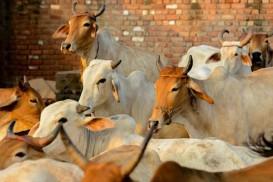 ভারতে গরুর জন্য শীতের পোশাক দেয়ার সিদ্ধান্ত