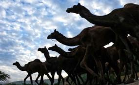 অস্ট্রেলিয়ায় গুলি করে ৫ হাজার উট হত্যা