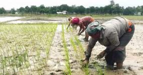 নবাবগঞ্জে লাইন করে বেরোধান রোপন করায় কৃষকদের মাঝে ব্যাপক সাড়া